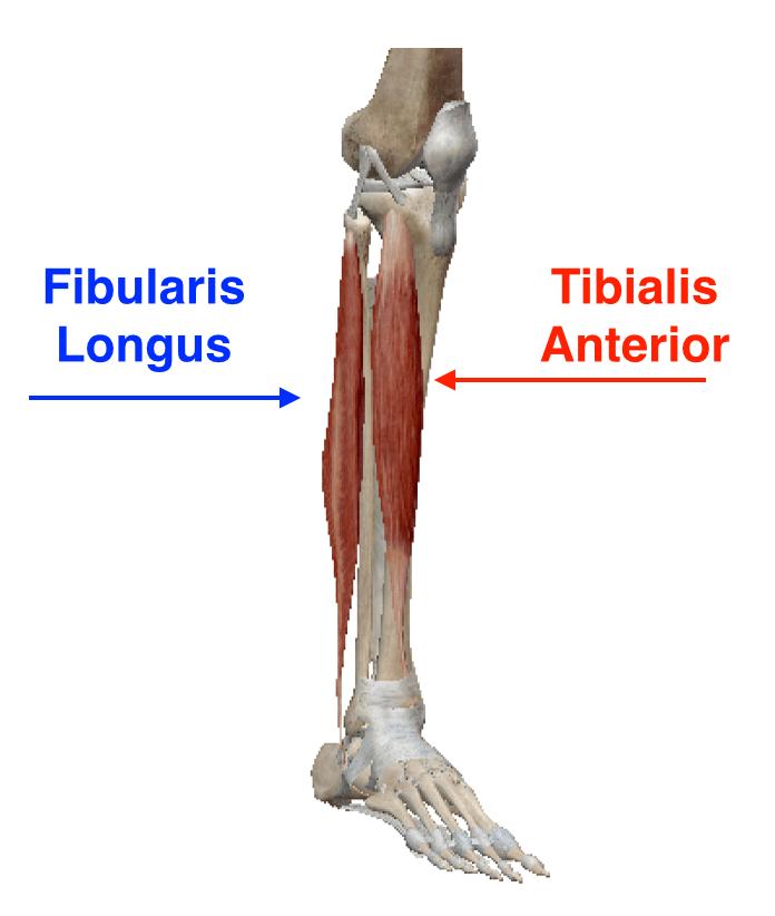 fibularis longus origin - 696×822